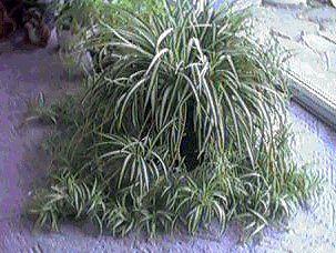 Planta araña